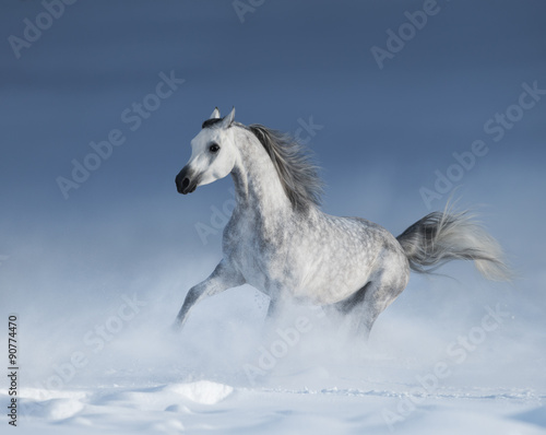Foto op Canvas Paarden Purebred grey arabian horse galloping over meadow in snow