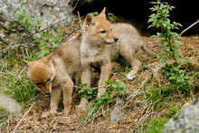 Two Coyote Pups Outside Their Den In Yellowstone National Park