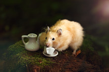 Golden Hamster Is Drinking Cof...