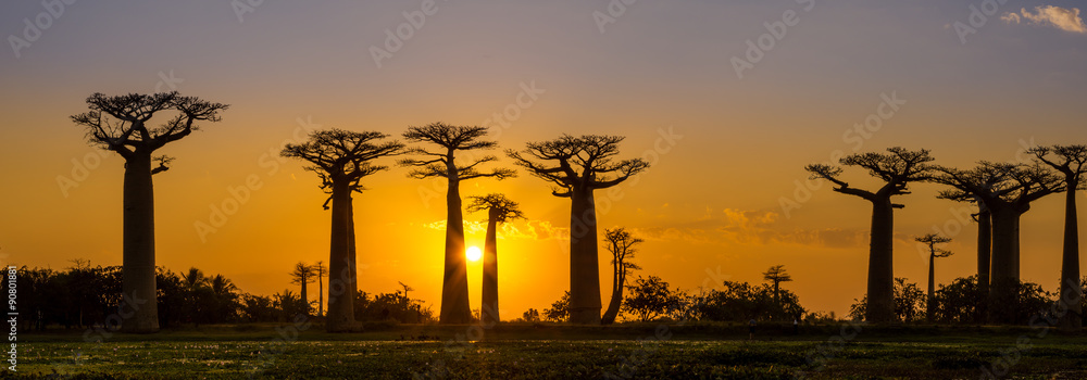 Fototapeta Panorama view at sunset above Baobab avenue