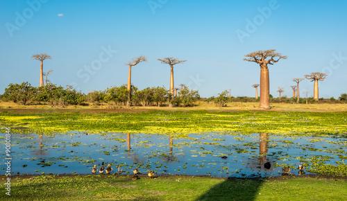 Keuken foto achterwand Baobab Baobab trees with lake near Morondava