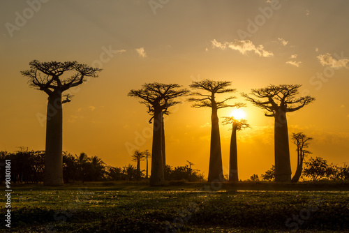 Spoed Foto op Canvas Baobab Evening in Baobab avenue