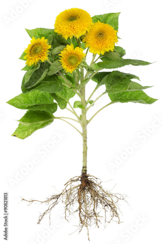 Sunflowers roots isolated