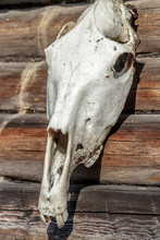 Weathered Horse Skull On Old Timber Wall
