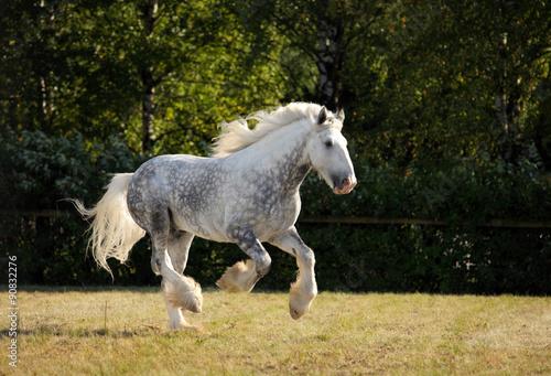 Fotografía  Shire Draft Horse stallion galloping in fields