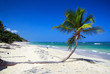 Coconut palm tree on tropical sandy beach near caribbean sea