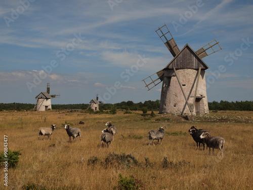 Fotografía  Windmühlen auf Gotland mit Gotlandschafen (Guteschafe)