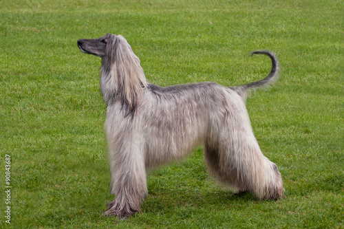 Photo Afghan Hound