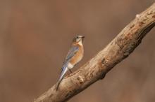 EASTERN BLUEBIRD SITTING ON BRANCH