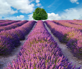 Fototapeta Do biura Lavender flower blooming scented fields