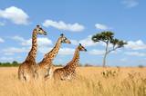Fototapeta Sawanna - Giraffe