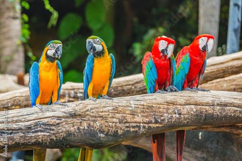 Naklejki papugi  colourful-macaw-parrots-bird