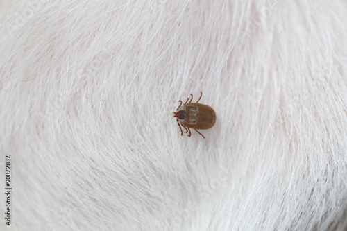 Big Ticks on a dog. Poster