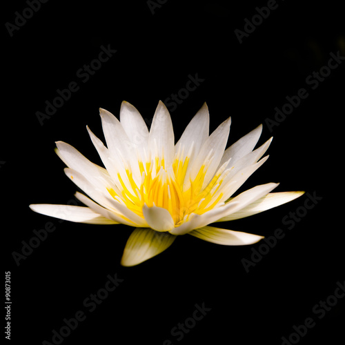 White Lotus Flower On Black Background Buy This Stock Photo And