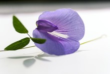 Centrosema Virginiana, Butterfly Pea Wildflower