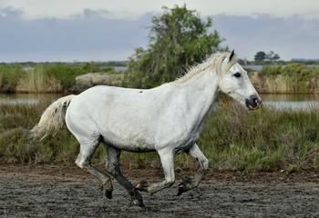 Portrait of the Running White Camargue Horses in Parc Regional de Camargue