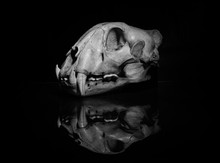 Jaguar Skull In Black And White (side View).