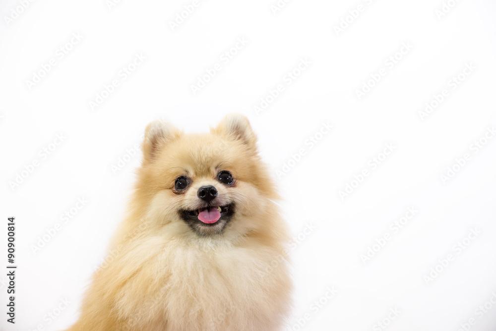 Fotografía Cute pomeranian puppy in hand at studio on a white ...