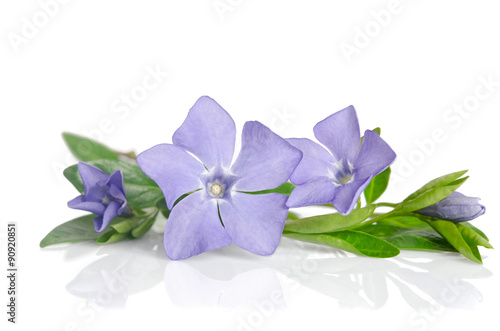 Valokuvatapetti Beautiful blue flowers periwinkle on white background