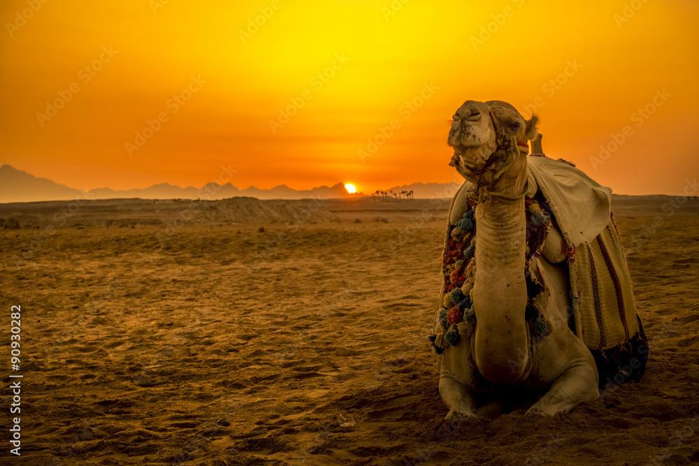 Fototapeta Camel in front of sunset in Hurghada/Makadi Bay, Egypt