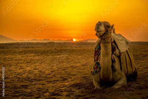 Spoed Foto op Canvas Kameel Camel in front of sunset in Hurghada/Makadi Bay, Egypt