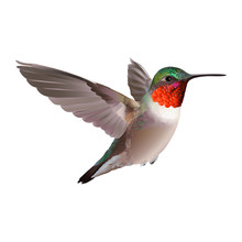Hummingbird - Colubris Archilo...