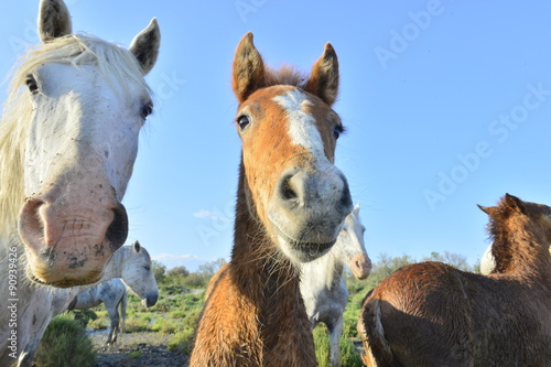 Foto op Canvas Paarden White Camargue Horse with foals in the swamps nature reserve in Parc Regional de Camargue - Provence, France
