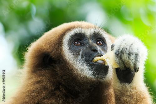 Fotografia gibbon