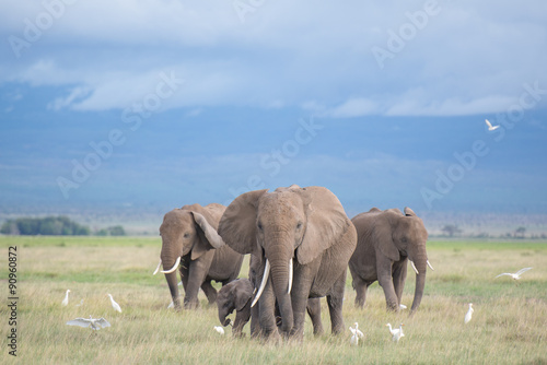 elephants in Amboseli / family Poster