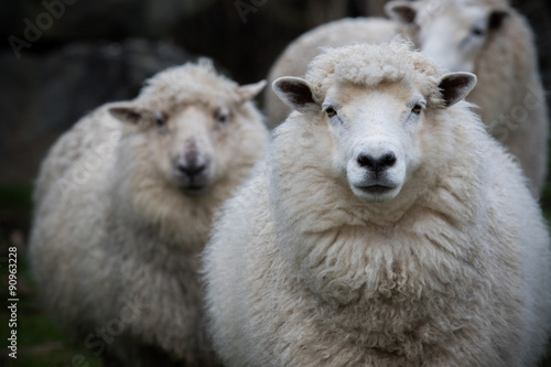 Tuinposter Schapen close up face of new zealand merino sheep in farm