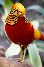 Beautiful Male Golden Pheasant...