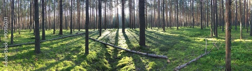 Fototapeten Wald Early morning with sunrise in pine forest