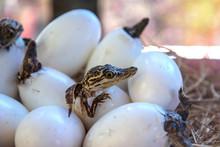 Stuff Of Little Baby Crocodile...