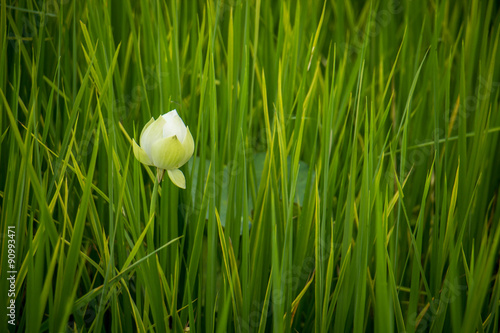 White lotus flowers with green leaves background in the lake