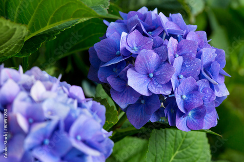 Montage in der Fensternische Hortensie Blue hydrangea flowers.