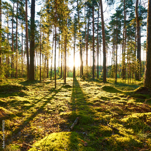 Papiers peints Forets Sunrise in pine forest
