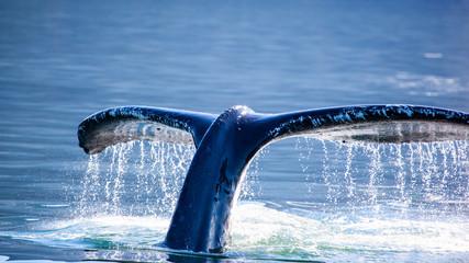 Plakat Humpback Whale (Megaptera novaeangliae) tail, Juneau, Alaska