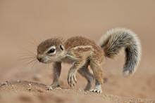 Baby Cape Ground Squirrel (Xerus Inauris), Kgalagadi Transfrontier Park, Encompassing The Former Kalahari Gemsbok National Park