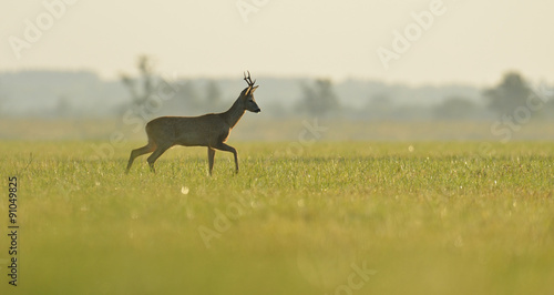 Photo sur Aluminium Roe roe buck walking in the meadow