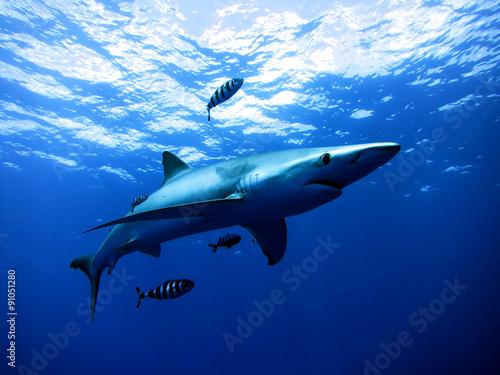 Requin blue