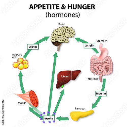 Canvas Print Hormones appetite & hunger