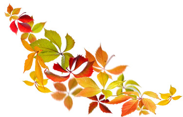 Falling Virginia Creeper(Parthenocissus quincquefolia) autumn leaves on white background.