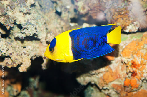 Bicolor Angelfish Wallpaper Mural