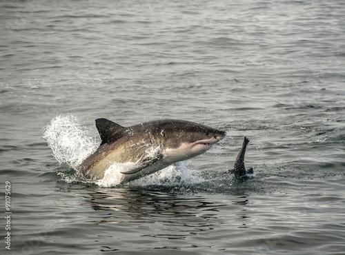 Dauphin Great white shark breaching