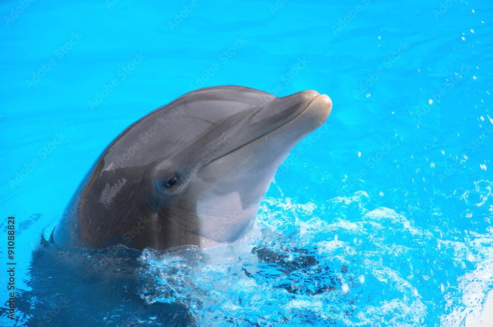 Fototapeta Śmiejący się delfin w Loro Park na Teneryfie