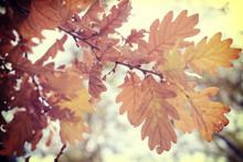 Fall Foliage Season Background Oak Vintage Leaf