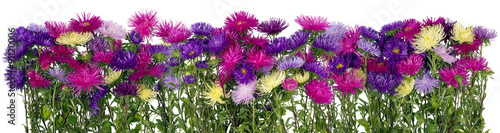 Autumn asters panoramic border #91120006
