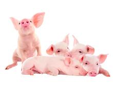 Pile Of Fun, Pink Pigs. Isolat...