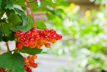 Close Up Of Bunch Of Red Berries Of A Guelder Rose Or Viburnum O
