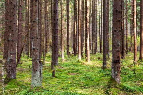 Deurstickers Berkbosje Coneferous forest